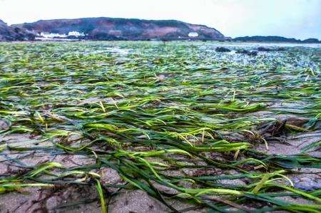 Researchers are keen to know more about seagrass around the Caithness coastline.