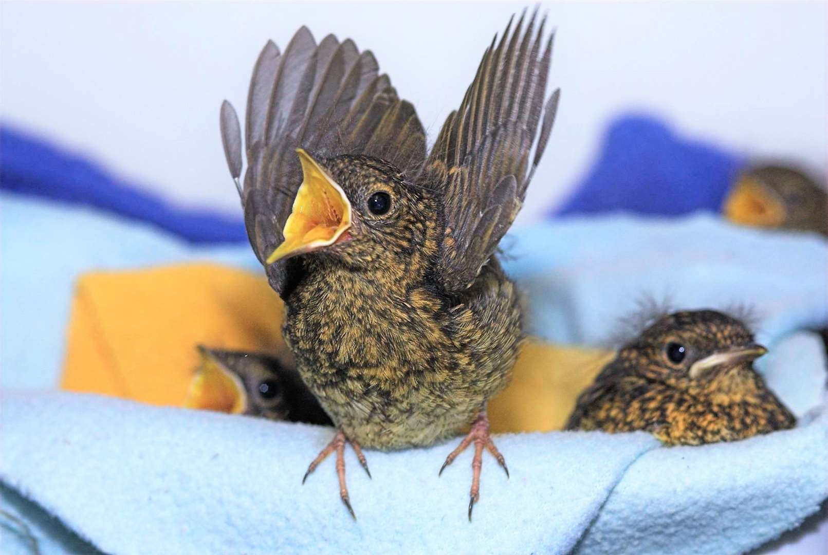 Baby birds rescued by the charity.