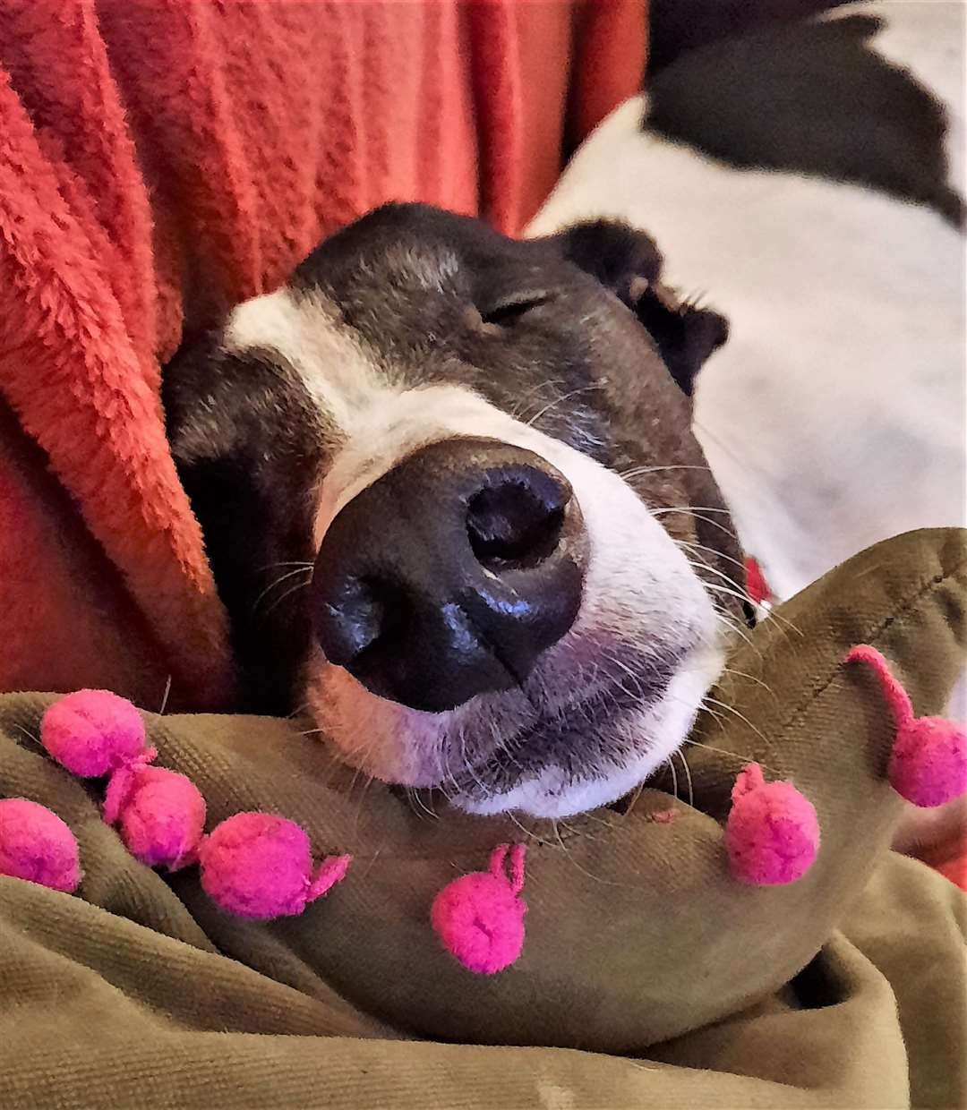 Blossom the rescue greyhound may be sleeping peacefully but thieves are on the lookout for breeds like this. Picture: K Cochrabe