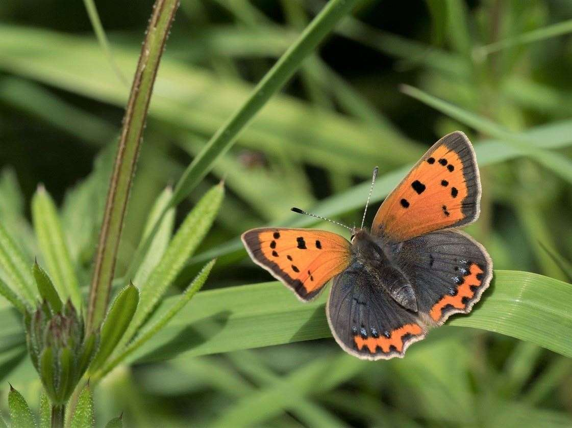 The small copper butterfly could be in your garden. Picture: Mairi McIntosh