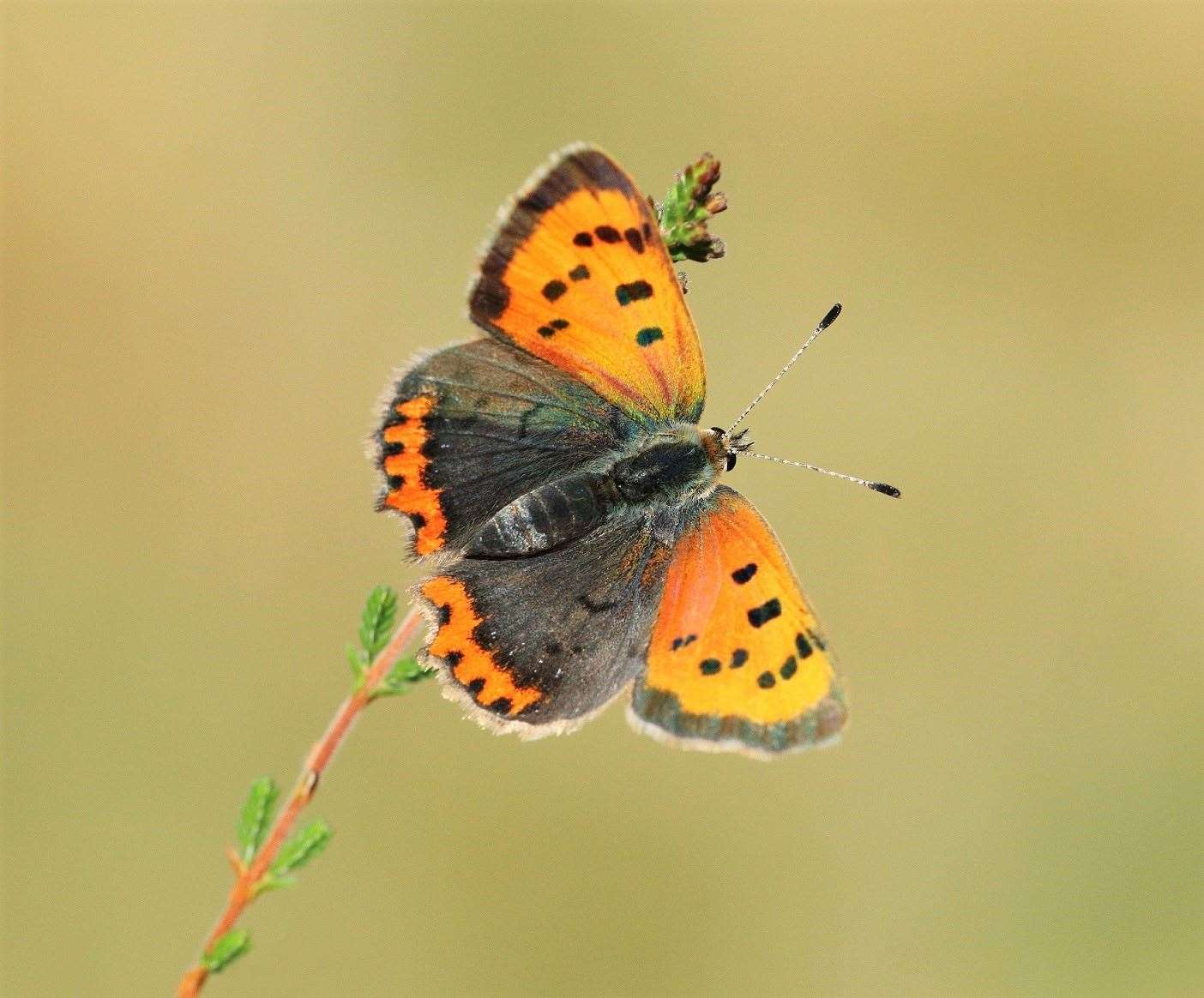 The numbers of small copper butterflies has been dwindling in Scotland. Picture: Mark Searle